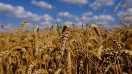 Trading sul grano: previsioni per investire in borsa